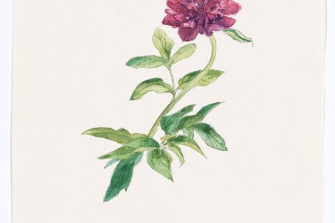 Akvarell av pion